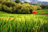 Poppy Flowers in Wheat Field Landscape