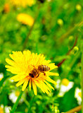 Honey Bee on a Yellow Dandelion