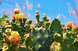Prickly Pear Cactus with Yellow Flowers
