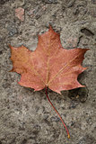 close-up shot of autumn maple leaf