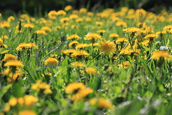 Yellow dandelion flowers in green grass