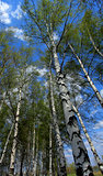 The white birch-trees on the background of blue sky