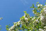 Apple tree blossoming