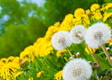 Dandelion meadow background