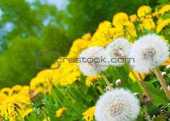 Dandelion meadow background