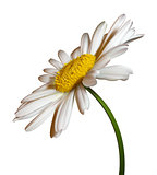 vector camomile flower isolated on white background