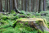 Large tree stump in summer forest
