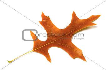 Autumn leaf of oak