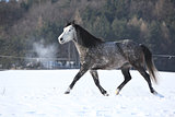 Grey horse running in winter