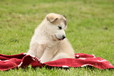 Alaskan Malamute puppy sitting on blanket