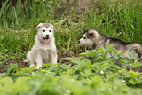Two Alaskan Malamute puppies