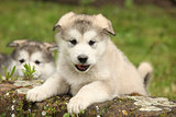 Alaskan Malamute puppy looking