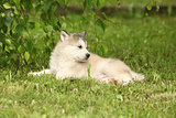 Alaskan Malamute puppy under the twigs of birch