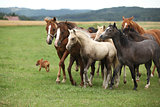 Herd of moving horses
