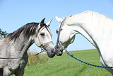 Two arabian stallions with show halters