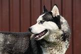 Grey Siberian husky