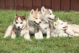 Group of Siberian husky puppies