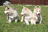 Three Siberian husky puppies