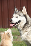 Siberian husky puppy and adult