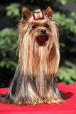 Yorkshire terrier in front of green background