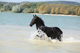 Friesian foal moving in the water