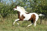 Paint horse running