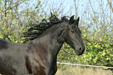 Portrait of running friesian mare