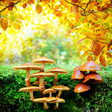 Yellow mushrooms in sunny autumn forest