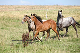 Three appaloosa horses running