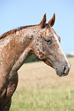 Portrait of appaloosa