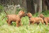 Rhodesian ridgeback puppies playing