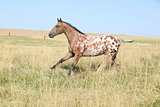 Nice appaloosa stallion running
