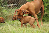 Rhodesian ridgeback bitch with puppy