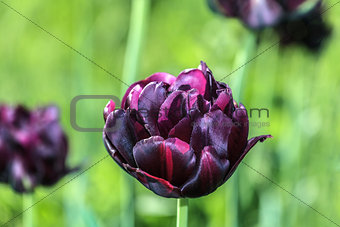 Blooming tulip