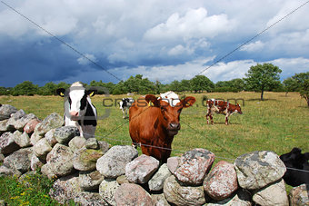 Courious cows