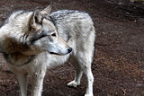 Beauty of the gray timber wolf