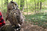 Great horned owl on trainer's arm