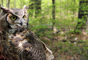 Great horned owl in natural habitat