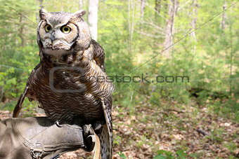 Great Horned owl in the woods