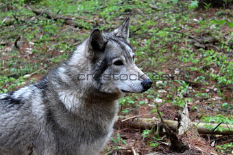 Gray timber wolf in natural habitat