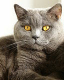 "gray cat with orange eyes - ""British Blue"""
