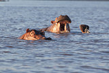 Hippos wallowing in water