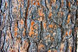 Cortex tree cedar