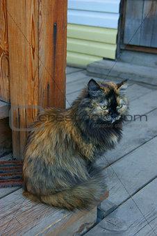 Cat of the siberian sort