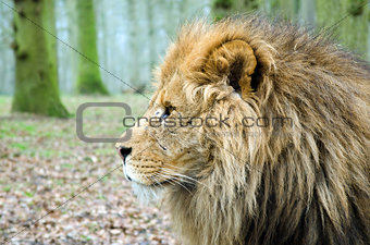 Close up Profile of Male Lion