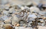 White-spotted Beak butterfly (Libythea narina rohini)