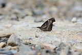 Cub Beak butterfly (Libythea myrrha sangvinallis)