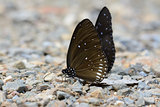 Long-branded Blue Crow butterfly (Euploea Algea)