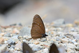 male Striped Blue Crow butterfly (Euploea mulciber)