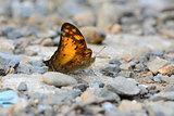 Vagrant butterfly (Vagrans egista sinha)